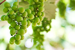 Primer de un manojo de uvas Fotos de archivo