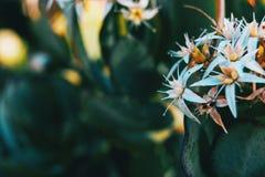 Primer de un manojo de flores blancas del álbum del sedum foto de archivo libre de regalías