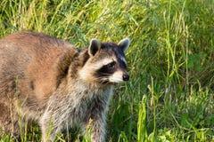 Primer de un mapache doméstico en un prado Fotografía de archivo