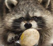 Primer de un mapache que hace frente, Procyon Iotor, comiendo un huevo Fotos de archivo