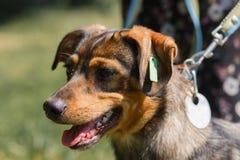 Primer de un marrón, perro sonriente al aire libre, cente animal de la adopción Imagen de archivo