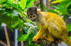 Primer de un mono de ardilla común que se sienta en un árbol, pequeña especie linda del primate de América imagenes de archivo