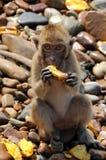 Primer de un mono de macaque muy sorprendido Foto de archivo