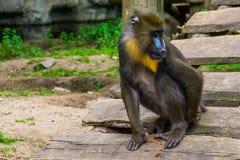 Primer de un mono del mandril que rasguña a su primate detrás, tropical con una cara colorida, especie animal vulnerable del Came fotos de archivo libres de regalías