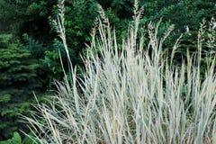 Primer de un ne azul de los sempervirens de Helictotrichon de la hierba de avena del arbusto imagen de archivo libre de regalías