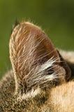 Primer de un oído de gato Foto de archivo libre de regalías