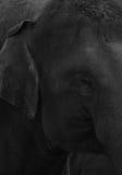 Primer de un ojo de los elefantes en blanco y negro Imagen de archivo libre de regalías