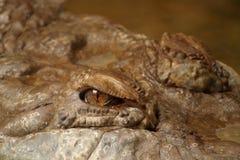 Primer de un ojo del cocodrilo Fotos de archivo libres de regalías