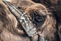 Primer de un ojo del ` s del camello Fotografía de archivo libre de regalías