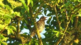 Primer de un pájaro de los philomelos del turdus del tordo de canción que canta en un árbol almacen de metraje de vídeo