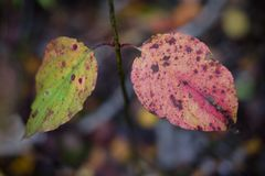 Primer de un par de hojas quebradas en rojo y verde con grunge Imagen de archivo
