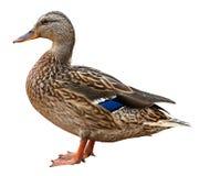Primer de un pato macho, pato silvestre femenino, pato salvaje que tira al aire libre fotografía de archivo