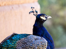 Primer de un Peafowl imagen de archivo