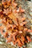 Primer de un pepino de mar espinoso anaranjado pálido imágenes de archivo libres de regalías