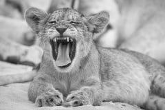 Primer de un pequeño cachorro de león que bosteza en la arena suave de Kalahari en AR fotos de archivo