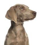 Primer de un perfil del perrito de Weimaraner, 2,5 meses foto de archivo