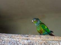 Primer de un periquito cheeked verde que camina sobre una rama, un pequeño loro colorido del Brasil imágenes de archivo libres de regalías