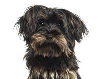 Primer de un perrito del terrier de Yorkshire, mirando la cámara Imagen de archivo libre de regalías