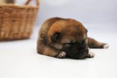 Primer de un perrito recién nacido de Shiba Inu Perro de Shiba Inu del japonés Marrón hermoso y mamá del color del perrito del in fotografía de archivo libre de regalías