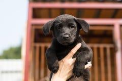 Primer de un perrito sin hogar negro en el volunteer& x27; manos de s Imagenes de archivo