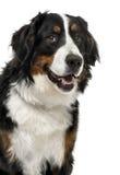Primer de un perro de montaña de Bernese, de 1 año Foto de archivo libre de regalías