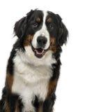 Primer de un perro de montaña de Bernese, de 1 año Imagen de archivo