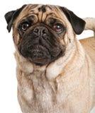 Primer de un perro del barro amasado Imagen de archivo libre de regalías