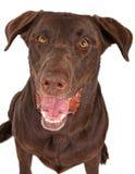 Primer de un perro del perro perdiguero de Labrador del chocolate Fotografía de archivo