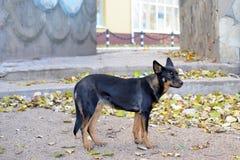 Primer de un perro negro asustadizo Foto de archivo libre de regalías