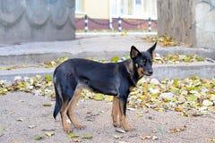 Primer de un perro negro asustadizo Imágenes de archivo libres de regalías