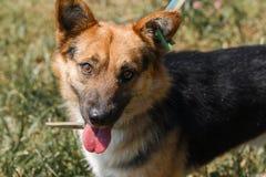 Primer de un perro de pastor alemán sonriente lindo, buen YE amistoso Fotografía de archivo libre de regalías