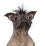 Primer de un perro sin pelo de la Mezclado-raza, mezcla entre un dogo francés y un perro con cresta chino Fotografía de archivo