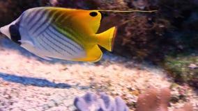 Primer de un pescado de la mariposa del threadfin que nada en la parte inferior del acuario, especie tropical colorida de los pes almacen de metraje de vídeo