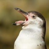 Primer de un pingüino del humboldt foto de archivo libre de regalías