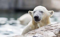 Primer de un polarbear Foto de archivo