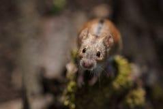 Primer de un ratón de campo rayado curioso Foto de archivo libre de regalías