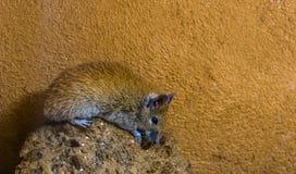 Primer de un ratón espinoso de El Cairo que se sienta en una roca, roedor común del norte de África imágenes de archivo libres de regalías