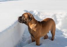 Primer de un retrato de un pequeño perrito, una raza rara de Boerboel surafricano, contra la nieve Imágenes de archivo libres de regalías