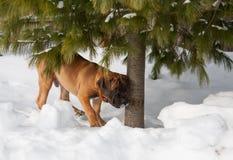 Primer de un retrato de un pequeño perrito, una raza rara de Boerboel surafricano, contra la nieve Foto de archivo