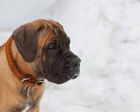 Primer de un retrato de un pequeño perrito, una raza rara de Boerboel surafricano, contra la nieve Imagen de archivo