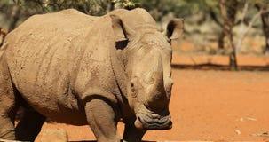 Primer de un rinoceronte blanco almacen de video