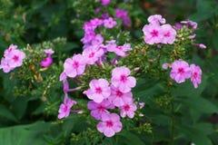 Primer de un subulata rosado del polemonio de la flor un subulate del polemonio con l fotos de archivo