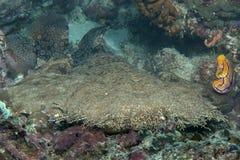 Primer de un tiburón tasselled del wobbegong que descansa sobre la parte inferior de mar de Raja Ampat, Indonesia fotos de archivo libres de regalías
