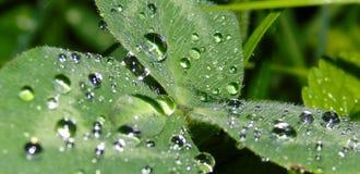 Primer de un trébol con las gotas de agua en él, después de la lluvia fotografía de archivo libre de regalías