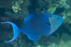 Primer de un triggerfish rojo-dentado que nada sobre el arrecife de coral de Bali imagenes de archivo