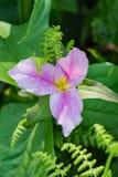 Primer de un Trillium Grande-floreciente foto de archivo libre de regalías