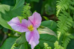 Primer de un Trillium Grande-floreciente - 2 imagenes de archivo