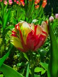 Primer de un tulipán arco iris-coloreado en colores pastel cerrado del loro fotografía de archivo