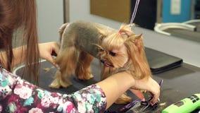 Primer de un veterinario que peina el pelo en las patas de un terrier de Yorkshire, MES lento almacen de video