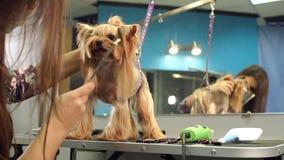 Primer de un veterinario que peina el pelo de un terrier de Yorkshire, cámara lenta almacen de video